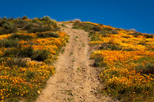 """MARCH 15, 2019 - LAKE ELSINORE, CA, USA - """"Super Bloom"""" California Poppies In Walker Canyon Outside Of Lake Elsinore, Riverside County, CA Features Dirt Road Through Flowers"""