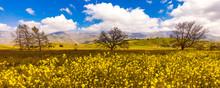 California Oak In Field Of Mus...