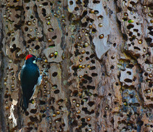 An Acorn Woodpecker, Melanerpe...