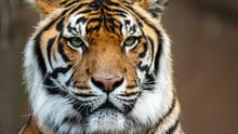 Sumatran Tiger Head Shot Looki...