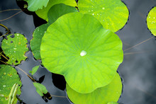 Lotus Leaf With Drops Of Water...