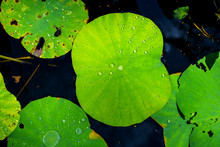 Lotus Leaf With Drops Of Water In The Lake Morning