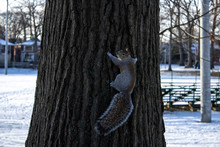 Squirrel Climbing Tree In The Winter
