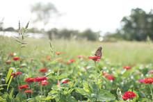 Monarch Butterfly In Field Of Red Flowers