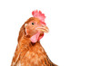 Portrait of a curious chicken, closeup, isolated on white background