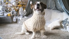 Dog Wearing Sweater At Home Du...