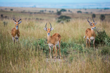 Three Beautiful Gazelles Look ...