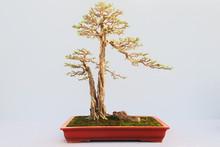 Chinese  Bonsai Tree Isolated ...