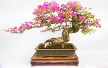 Bonsai Of Plum Tree Isolated O...