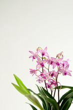 Beautiful Pink-purple Orchids ...