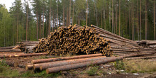 Forest Edge With Saw Mill, Stacks Of Pine Logs Against Pine Forest