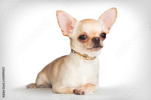Chihuahua dog (male) lies on a white background Wallpaper Mural