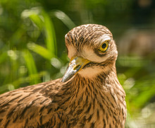 Spotted Thick Knee (burhinus C...