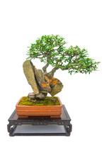 Chinese Bonsai Tree Isolated O...