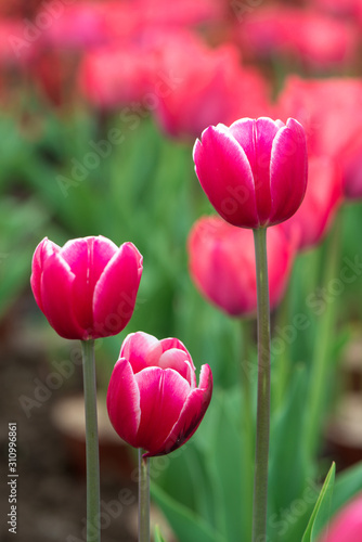 Beautiful colorful red  tulip background photo. #310996861