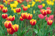 Beautiful and colorful tulip Photos.