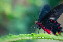 Scarlet Mormon Butterfly Resti...