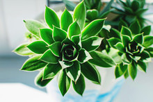 Close Up Of Beautiful Succulent Plant In The Sun On The Window.