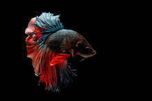 Capture The Moving Moment Of Red-blue Siamese Fighting Fish Isolated On Black Background. Betta Fish