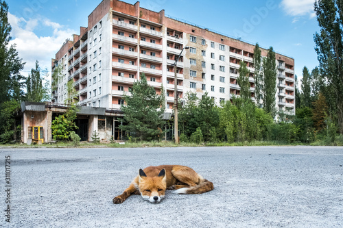 Fototapeta The fox being fed by tourists that has no fear of people and behaves like a dog in the ghost town of Pripyat obraz