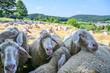 canvas print picture - Schafe drängen sich im Sommer in den Schatten.