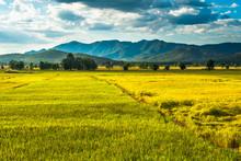 Golden Rice Field (Uttaradit, ...