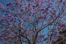 Purple Jacaranda Tree Blossoms Over Blue Sky