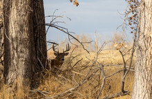 Whitetail Deer Buck In Colorad...