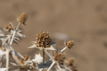 Dry Thistle On Natural Colour Background