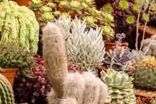 Hairy Cacti In Varied Display