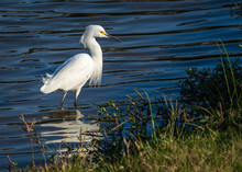 Snowy Egret Wading In A Blue S...