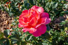 Easy Does It Rose Flower In The Field. Scientific Name: Rosa ' Easy Does It' Flower Bloom Color: Orange And Orange Blend