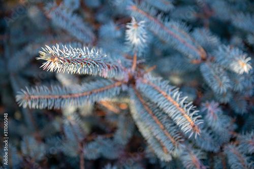 Fotografia Leśna gałązka z igłami. Drzewo iglaste