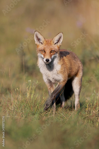 Photo Red fox, vulpes vulpes, Fox in summer on meadow