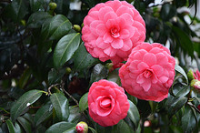 Japanese Camellia Beautiful Pi...
