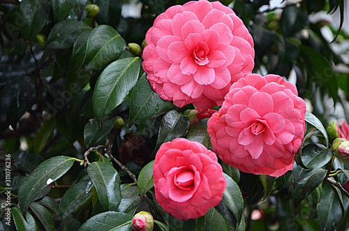 japanese camellia beautiful pink flowers in the garden Fototapeta