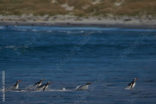 Photo Gentoo Penguins (Pygoscelis papua) coming ashore after feeding at sea on Sea Lion Island in the Falkland Islands
