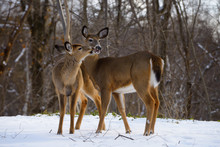 Two White Tailed Doe Deer Kissing In Winter In A Backyard In A Toronto Ravine