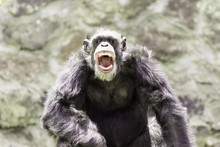 Angry Chimp With The Mouth Open