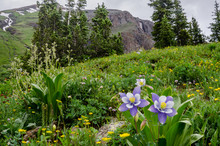 Columbine And Wildflowers In C...