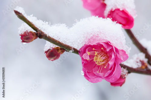 Fotomural 梅の花に積もる雪