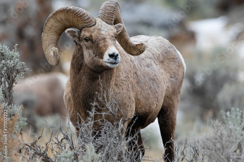 Rocky Mountain Bighorn Sheep in Montana Wallpaper Mural