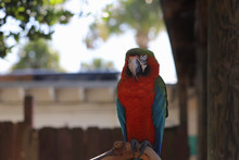 Red & Blue Macaw Sleeping On A...