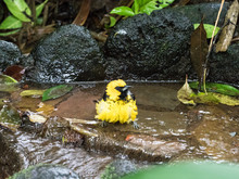 Yellow Bird Bathing In Stream With Ruffled Feathers