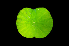 Lotus Leaf With Drops Of Water With Black Background Appropriate The Backdrop, Idea Copy Space
