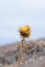 Dried Cardoon Bush (Latin: Cyn...