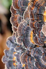 Close Up Of Blue Turkey Tail Mushrooms (Trametes Veriscolor)