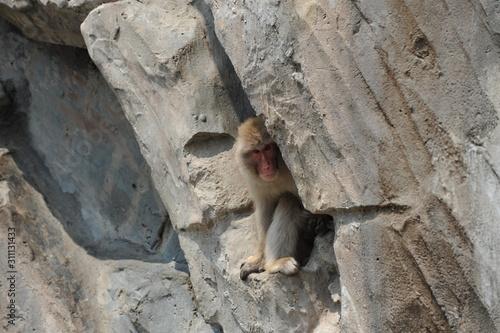 Cuadros en Lienzo  かくれんぼをする上野動物園のニホンザル