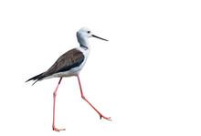 Black-winged Stilt Bird On White Background.