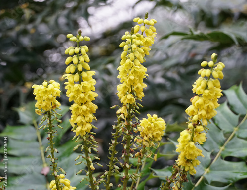 Canvastavla Yellow flowers of the species Mahonia japonica.